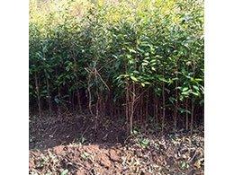 沼肥对油茶树根除土壤微生物数量和酶活性的影响